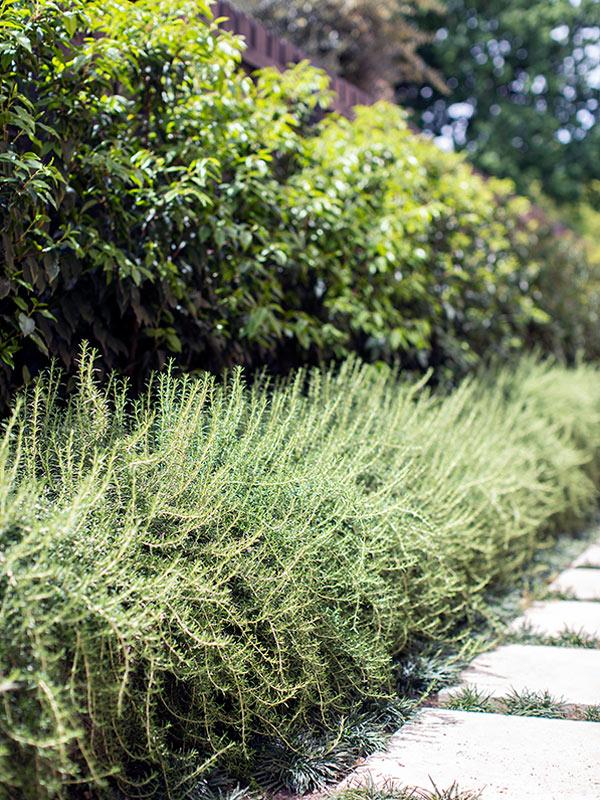 path-design-studio_-_landscape-design_hawthorn-garden_17_rosemary_buxus-hedge